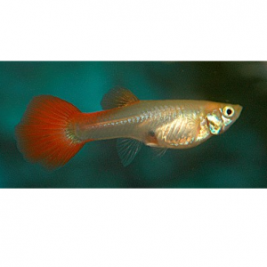 FEMALEGUPPY RED
