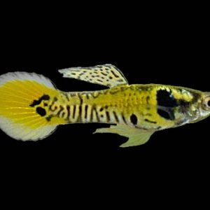 YELLOW TIGER GUPPY