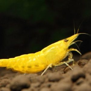 yellow shrimp