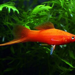 Red Sword Tail Platy