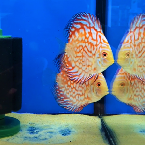 Red Maze Discus