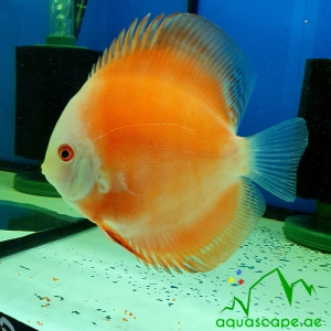 melon face discus