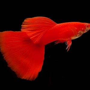 albino red guppy
