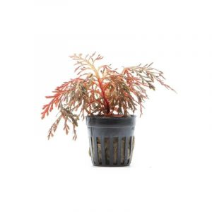 red ruby moss