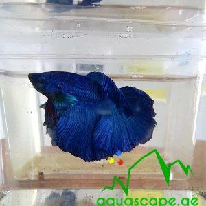 SUPER BLUE BETTA