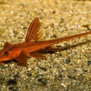 Red Lizard Catfish