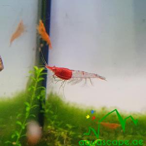 Red rilli shrimp