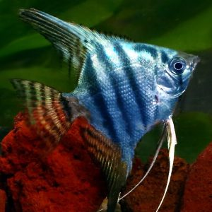 blue pinoy angel