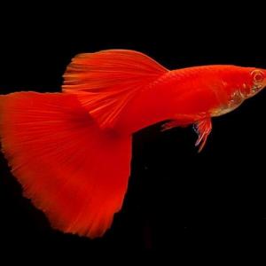 albino red guppy
