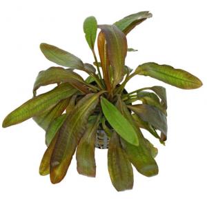 Echinodorus 'Red Rubin'