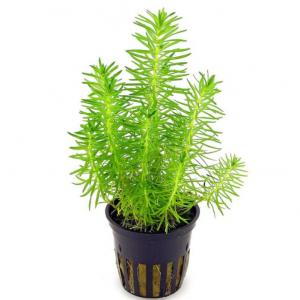 Aquascapeplants Pogostemon erectus
