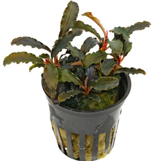Bucephalandra Kedagang
