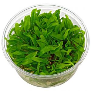Cryptocoryne wendtii 'Green'