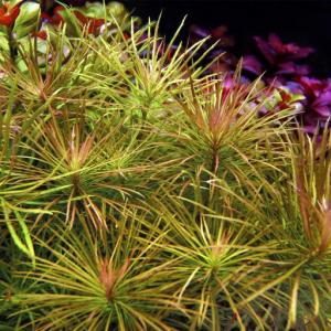 Pogostemon stellatus Water star