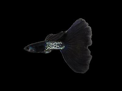 metal black tail guppy
